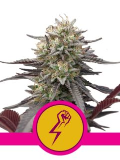 Green Crack Punch Feminizowane, Nasiona Marihuany, Konopi, Cannabis