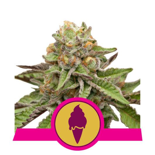 Green Gelato Feminizowane, Nasiona Marihuany, Konopi, Cannabis