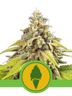Green Gelato Automatic Feminizowane, Nasiona Marihuany, Konopi, Cannabis