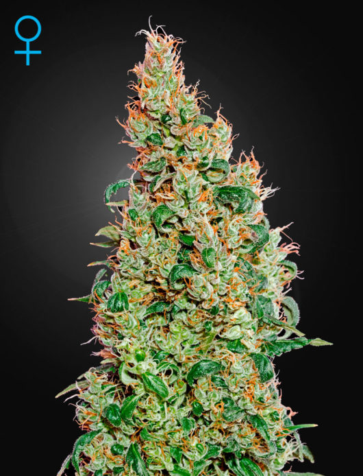 Green-O-Matic Automatic Feminizowane, Nasiona Marihuany, Konopi, Cannabis
