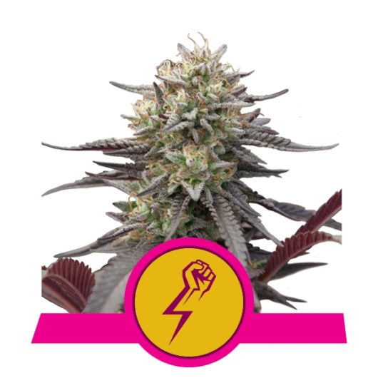 Green Punch Feminizowane, Nasiona Marihuany, Konopi, Cannabis