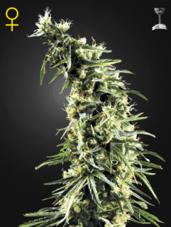 Hawaiian Snow Feminizowane, Nasiona Marihuany, Konopi, Cannabis