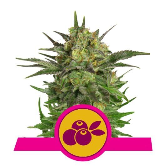 Haze Berry Feminizowane, Nasiona Marihuany, Konopi, Cannabis