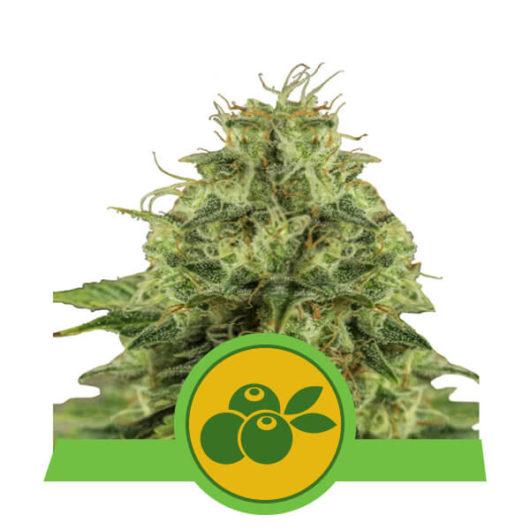 Haze Berry Automatic Feminizowane, Nasiona Marihuany, Konopi, Cannabis