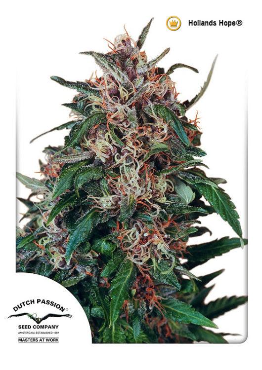 Hollands Hope Regularne, Nasiona Marihuany, Konopi, Cannabis
