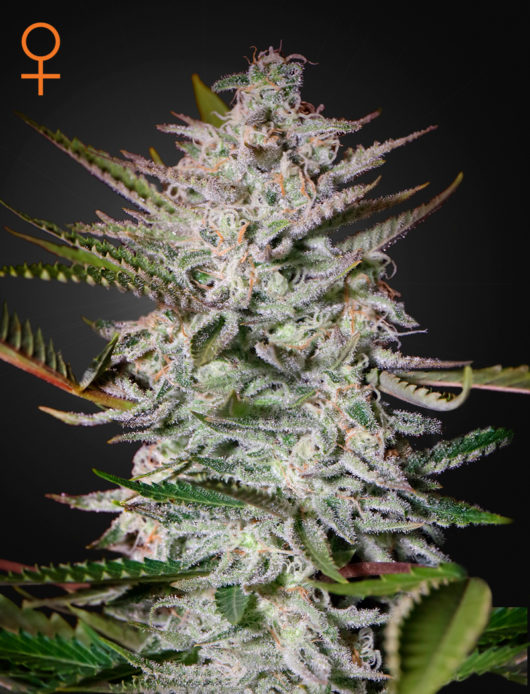 Holy Punch Feminizowane, Nasiona Marihuany, Konopi, Cannabis
