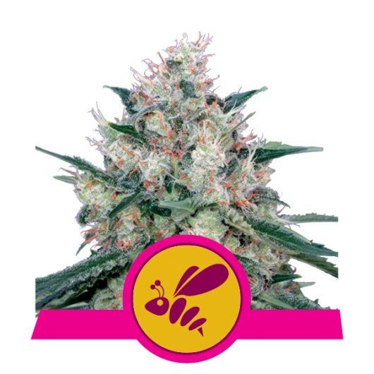Honey Cream Feminizowane, Nasiona Marihuany, Konopi, Cannabis