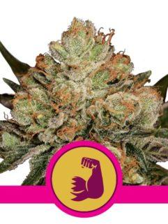 HulkBerry Feminizowane, Nasiona Marihuany, Konopi, Cannabis