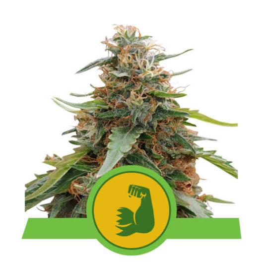 Hulkberry Automatic Feminizowane, Nasiona Marihuany, Konopi, Cannabis