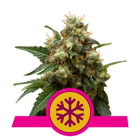 Ice Feminizowane, Nasiona Marihuany, Konopi, Cannabis