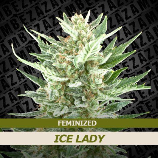 Ice Lady Feminizowane, Nasiona Marihuany, Konopi, Cannabis