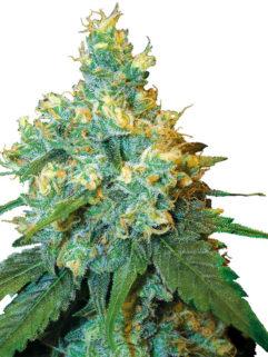 Jack Herer Feminizowane, Nasiona Marihuany, Konopi, Cannabis