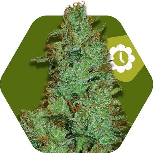 Jack the Ripper Automatic Feminizowane, Nasiona Marihuany, Konopi, Cannabis