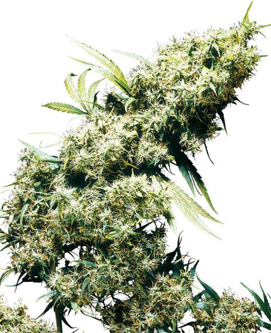 Jamaican Pearl Feminizowane, Nasiona Marihuany, Konopi, Cannabis