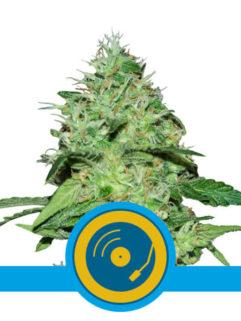 Joanne's CBD Feminizowane, Nasiona Marihuany, Konopi, Cannabis