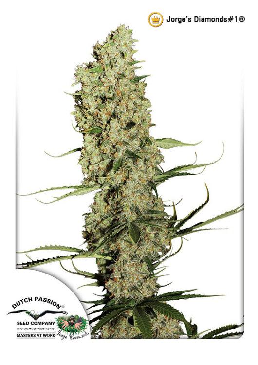 Jorge's Diamonds#1 Feminizowane, Nasiona Marihuany, Konopi, Cannabis