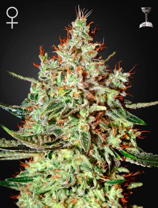 K-Train Feminizowane, Nasiona Marihuany, Konopi, Cannabis