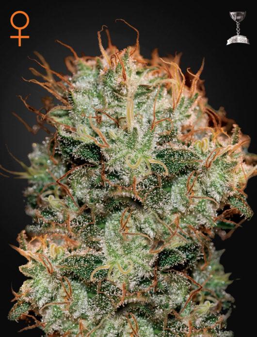 Kaia Kush Feminizowane, Nasiona Marihuany, Konopi, Cannabis