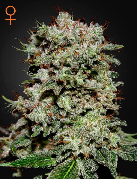 Kalashnikova Feminizowane, Nasiona Marihuany, Konopi, Cannabis