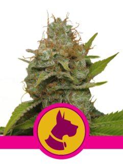 Kali Dog Feminizowane, Nasiona Marihuany, Konopi, Cannabis