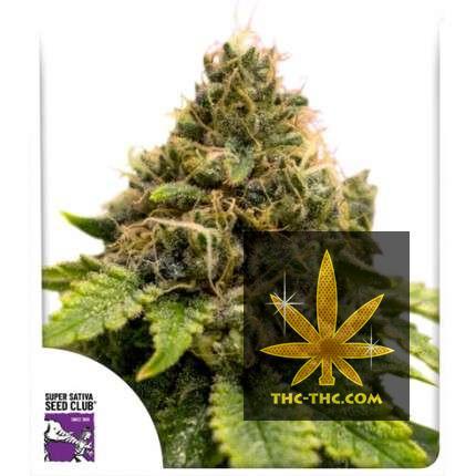 Karel's Dank Regularne, Nasiona Marihuany, Konopi, Cannabis
