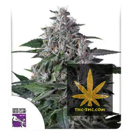 Karel's Haze Regularne, Nasiona Marihuany, Konopi, Cannabis