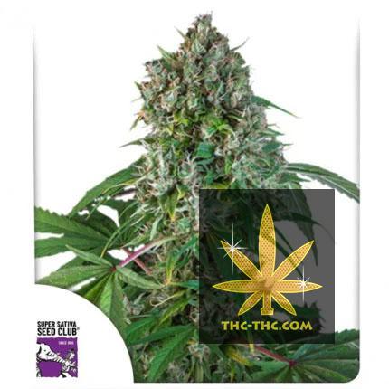 Karel's Herer Haze Regularne, Nasiona Marihuany, Konopi, Cannabis