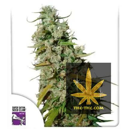 Kees' Old School Haze Regularne, Nasiona Marihuany, Konopi, Cannabis