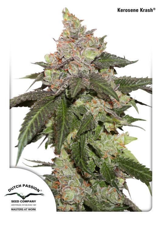 Kerosene Krash Feminizowane, Nasiona Marihuany, Konopi, Cannabis