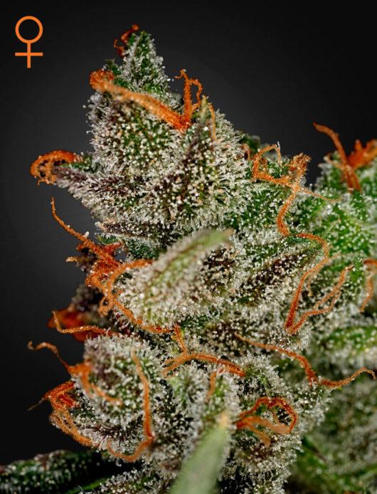 King's Kush Feminizowane, Nasiona Marihuany, Konopi, Cannabis
