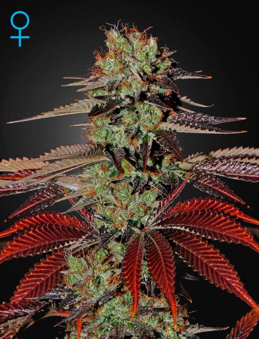 King's Kush Automatic Feminizowane, Nasiona Marihuany, Konopi, Cannabis