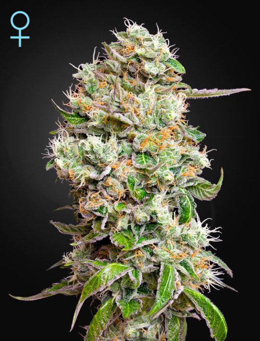 King's Kush CBD Automatic Feminizowane, Nasiona Marihuany, Konopi, Cannabis