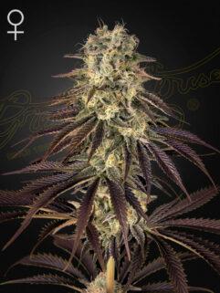 Kong's Krush Feminizowane, Nasiona Marihuany, Konopi, Cannabis