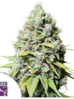 Kosher Haze Feminizowane, Nasiona Marihuany, Konopi, Cannabis