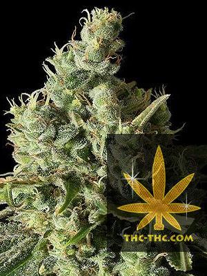 Kush Ryder Automatic Feminizowane, Nasiona Marihuany, Konopi, Cannabis