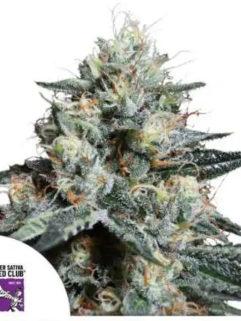 Lava Freeze Feminizowane, Nasiona Marihuany, Konopi, Cannabis