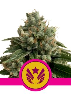 Legendary Punch Feminizowane, Nasiona Marihuany, Konopi, Cannabis