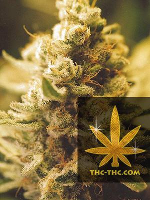 Lemon Kush Feminizowane, Nasiona Marihuany, Konopi, Cannabis