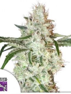 Lemon OG Feminizowane, Nasiona Marihuany, Konopi, Cannabis