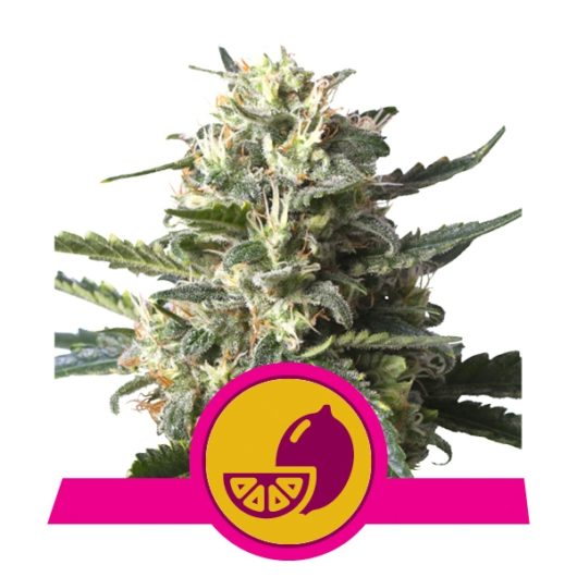 Lemon Shining Silver Haze Feminizowane, Nasiona Marihuany, Konopi, Cannabis