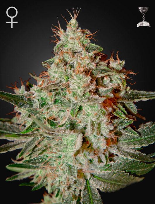 Lemon Skunk Feminizowane, Nasiona Marihuany, Konopi, Cannabis