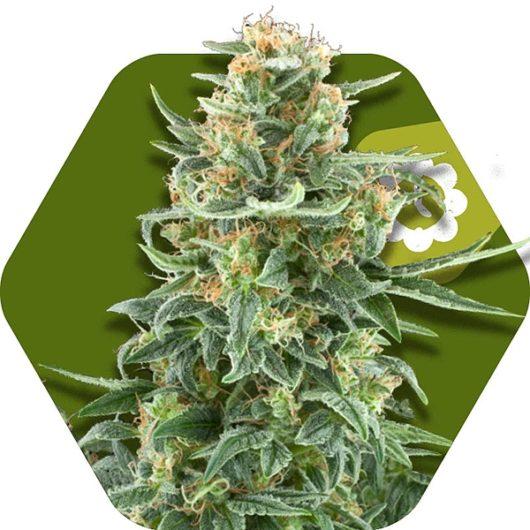 Little Dwarf Automatic Feminizowane, Nasiona Marihuany, Konopi, Cannabis