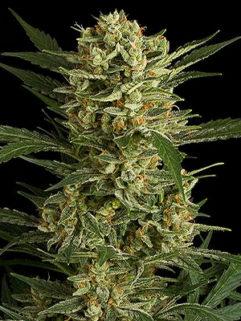Low Bud Automatic Feminizowane, Nasiona Marihuany, Konopi, Cannabis