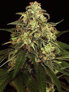 Lowres#2 Automatic Feminizowane, Nasiona Marihuany, Konopi, Cannabis