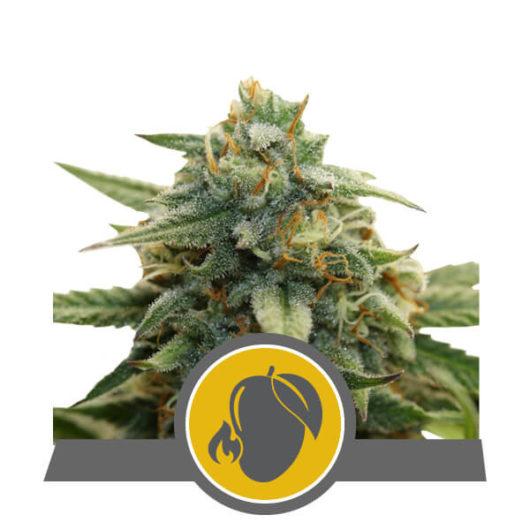 Mango Crunch Regularne, Nasiona Marihuany, Konopi, Cannabis