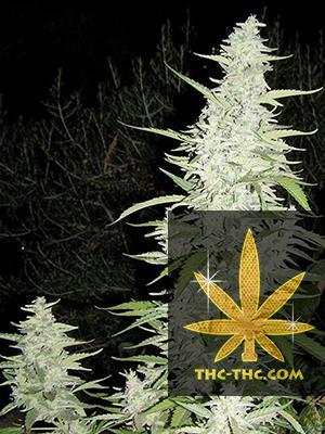 Maroc Feminizowane, Nasiona Marihuany, Konopi, Cannabis