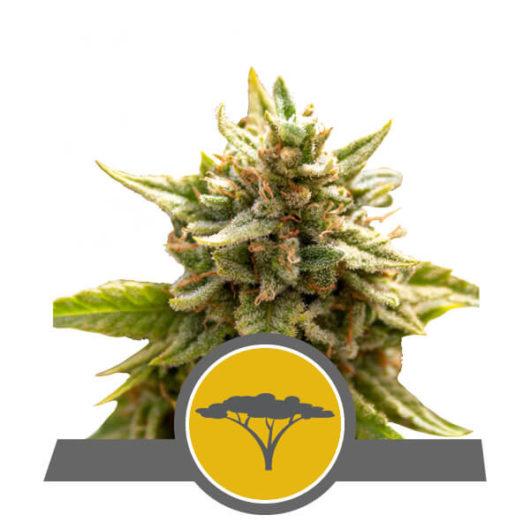 Marula Fruit Regularne, Nasiona Marihuany, Konopi, Cannabis