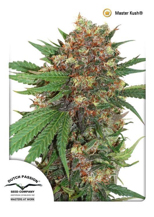 Masterkush Feminizowane, Nasiona Marihuany, Konopi, Cannabis