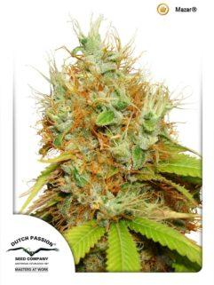 Mazar Feminizowane, Nasiona Marihuany, Konopi, Cannabis