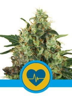 Medical Mass Feminizowane, Nasiona Marihuany, Konopi, Cannabis